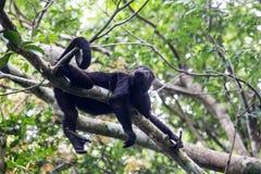 在机盖的吼猴 免版税库存图片