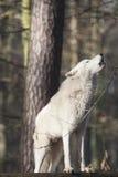 接近嗥叫狼 免版税库存图片