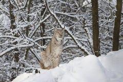 天猫座在冬天森林里 免版税图库摄影