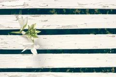在白色木篱芭背景的庭院百合 免版税库存照片