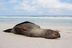 死的封印位置在海滩沙子洗涤了  免版税库存照片