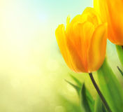 春天郁金香花卉生长 免版税库存照片