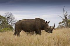 在克鲁格国家公园,南非的野生白犀牛 免版税库存照片