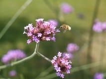 哺养在花的昆虫 免版税库存图片