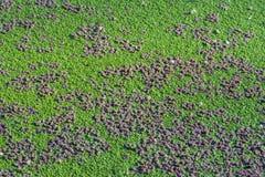 绿藻类 免版税库存图片