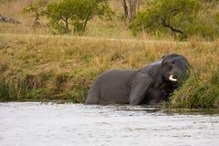 狂放的大象使用在河岸的,克鲁格国家公园,南非 免版税库存照片