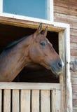 一匹纯血统海湾马的顶头射击 库存照片