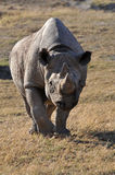 罕见的白色犀牛在南非只住狂放 库存照片