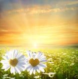 雏菊在草甸 库存图片