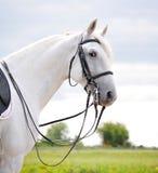 Ένα πορτρέτο του όμορφου γκρίζου αλόγου εκπαίδευσης αλόγου σε περιστροφές Στοκ εικόνα με δικαίωμα ελεύθερης χρήσης