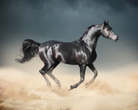Арабская лошадь бежать в пустыне Стоковые Фото