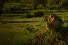 在黄昏的雌狮偷偷靠近的牺牲者 免版税库存图片