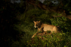 偷偷靠近为在黄昏的牺牲者的雌狮 库存照片