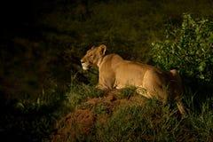 在黄昏偷偷靠近的牺牲者的雌狮 库存图片