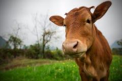 牛 免版税图库摄影