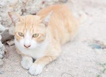 镶边的泰国猫老虎在街道上蹲下 库存图片
