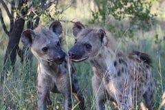 两被察觉的鬣狗崽 库存照片