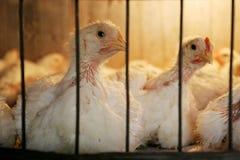 在小屋的母鸡在养鸡场 免版税库存照片