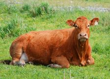 牛 免版税库存图片