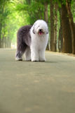 英国老护羊狗 免版税库存照片