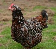 母鸡有斑点的苏克塞斯 免版税库存照片