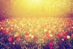 五颜六色的郁金香在庭院里在春天开花在晴天 免版税库存图片