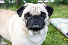 Порода зоопарка собаки мопса внешняя Стоковое Изображение RF