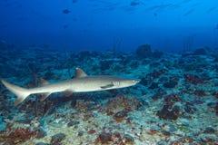 白色技巧鲨鱼 免版税库存图片