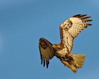 鹰红色尾标 免版税图库摄影