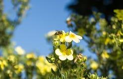 Μέλισσα στην εργασία στο τέλος του καλοκαιριού Στοκ Εικόνα