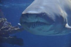暴牙的鲨鱼 免版税库存图片