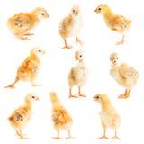 逗人喜爱的小鸡 库存图片