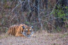 老虎偷偷靠近 图库摄影