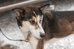 Το σκυλί ελκήθρων που τηλεγραφείται στο φορτηγό σκυλιών περιμένει την έναρξη φυλών Στοκ Φωτογραφία