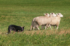 Τρίο κοπαδιών σκυλιών αποθεμάτων των προβάτων σωστών Στοκ φωτογραφίες με δικαίωμα ελεύθερης χρήσης