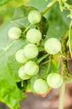绿色土耳其莓果 免版税图库摄影