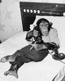 Συνεδρίαση χιμπατζών στο κρεβάτι στο τηλέφωνο και το κάπνισμα ενός πούρου (όλα τα πρόσωπα που απεικονίζονται δεν ζουν περισσότερο Στοκ Φωτογραφία