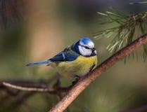蓝冠山雀 库存图片