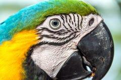 蓝色和黄色金刚鹦鹉面孔 免版税库存图片