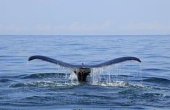 观看在巴亚尔塔港的鲸鱼 免版税图库摄影