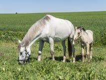 与她的驹的母马在领域 库存图片