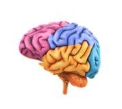 Анатомия человеческого мозга Стоковые Изображения RF