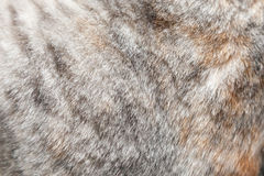 关闭一只灰色猫的毛皮 免版税库存图片