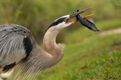 吃鱼的伟大蓝色的苍鹭的巢画象  免版税库存照片