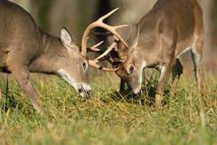 Бело-замкнутые самцы оленя оленей Стоковая Фотография