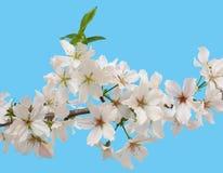 开花春天的白色樱花 免版税库存照片
