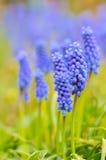 голубые цветки Стоковая Фотография RF
