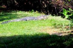 美国短吻鳄在佛罗里达沼泽地 图库摄影