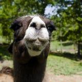 嘴唇骆马 库存照片