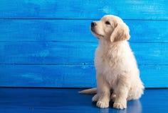 在蓝色木头的英国金毛猎犬小狗 免版税图库摄影